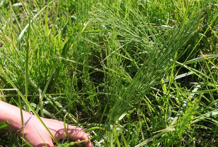 1mito_inoue_parcel_horsetail_herbs