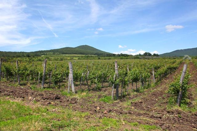 1balint_losonci_vineyard_matra_volcanoes