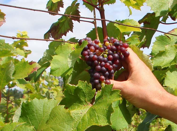 1renaud_guettier_pineau_daunis_grapes