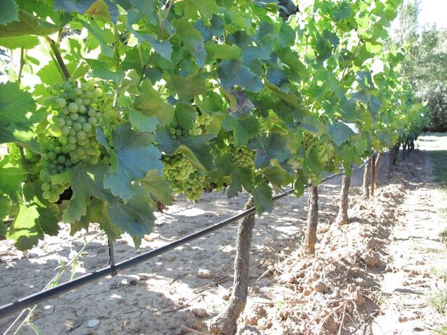 1irrigated_vines_provence