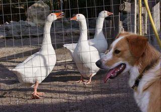 1dettori_tenute_geese_dog