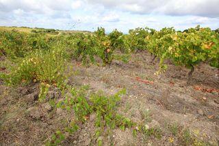 1dettori_tenute_1883_ungrafted_cannonau_vines