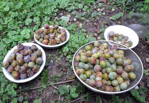 1acidic_greengage_picking
