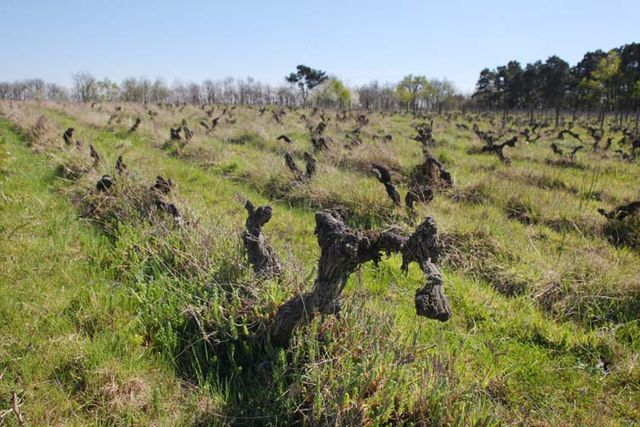 1clos_roche_blanche_to-be-uprooted_old_cot