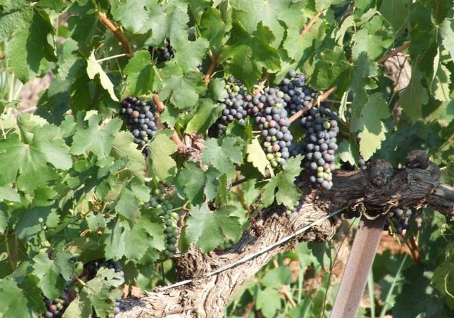 1bergerie_daquino_presumably_mourvedre_grapes