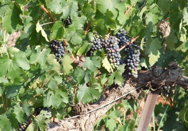 1bergerie_daquino_presumably_mourvedre_grapes