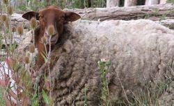 1bruno_allion_sheep