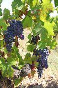 1damien_bureau_grolleau_grapes