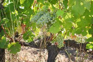 1thomas_boutin_20-are_chenin_clusters