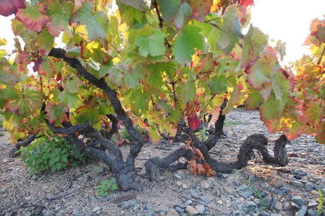 1anthony_thevenet_morgon_douby_very-old_vines