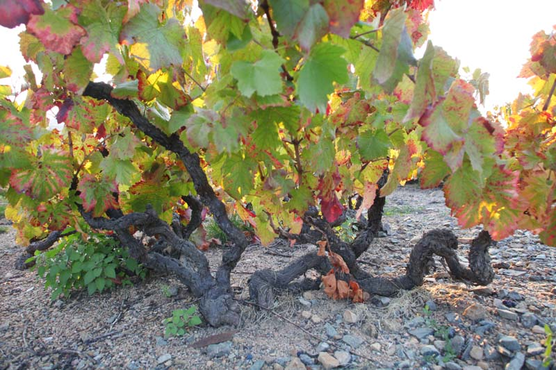1anthony_thevenet_morgon_douby_very-old_vines
