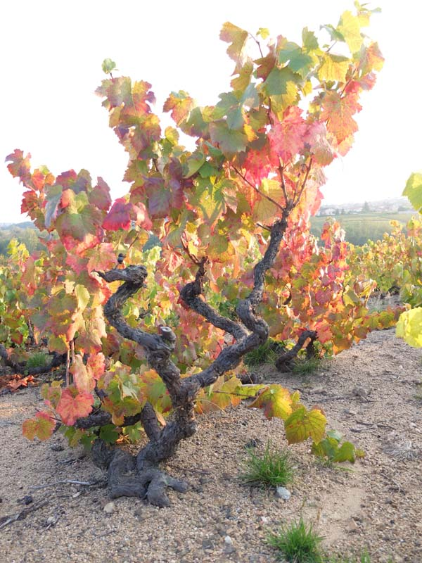 1anthony_thevenet_old_gamay_vine