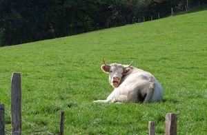 1michel_guignier_meat_cow