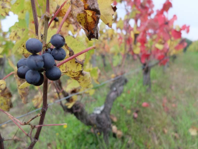1biodynamics501_leftover_grapes