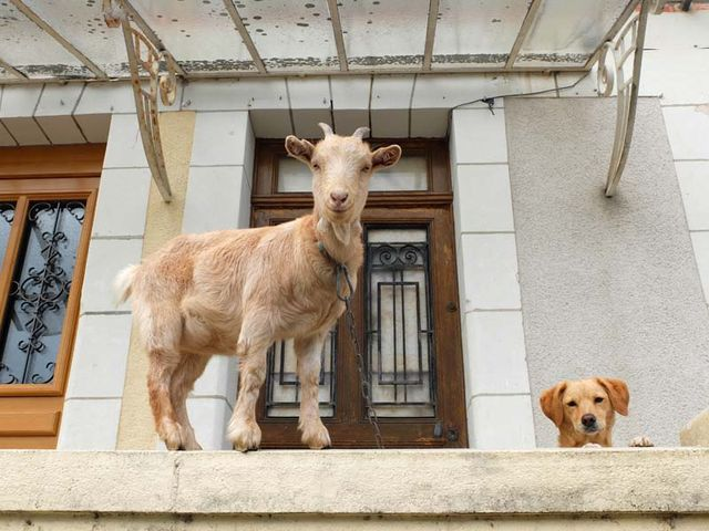 1baby_goat_with_dog