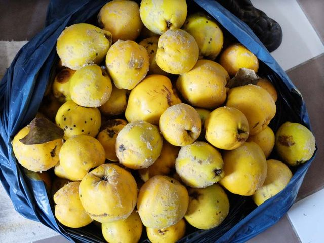 1coings_quince_just_picked