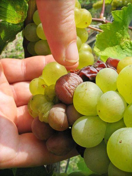 1disznoko_aszu_grapes