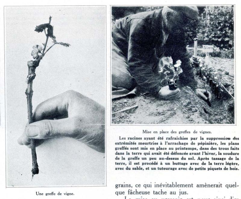 1champagne_1920s-3greffe
