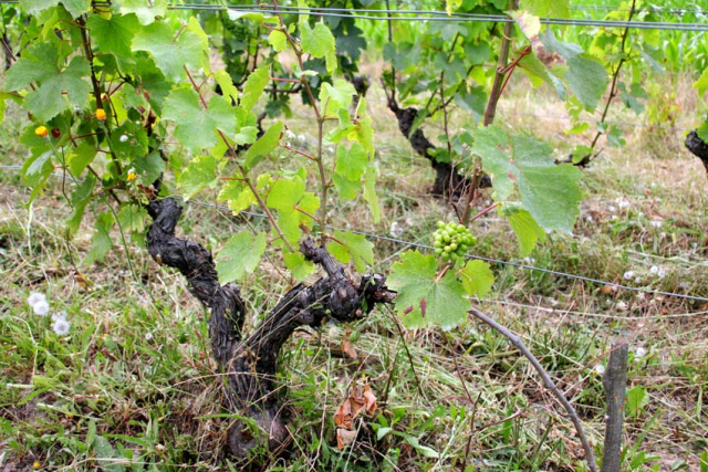 1julien_prevel_vigne1_vine_single_bunch