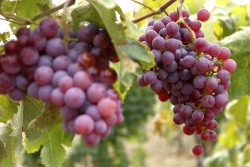 1grape_voros_dinka_pic_by_andras_kovacs