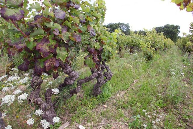 1renaud_guettier_gnarled_vines_pineau_aunis