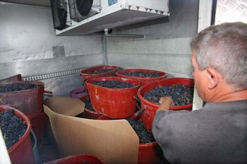 1yvon_metras_grape_buckets_cooling_room