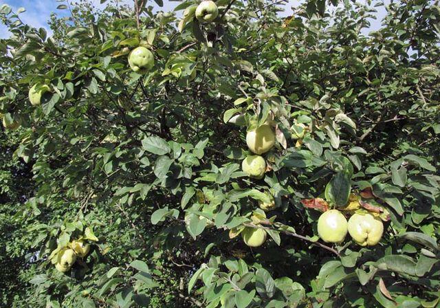 1acidic_quince_on_tree