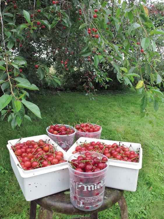 1acidic_griottes_morello_cherry_picking