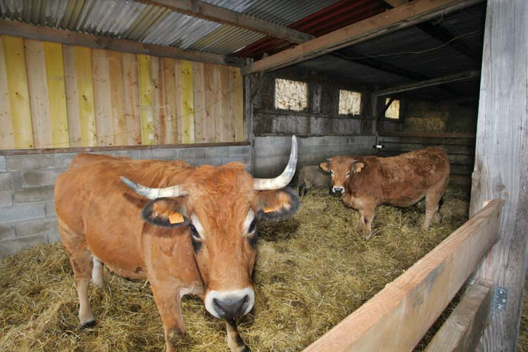 1ruppert-leroy_champagne_farm_cows
