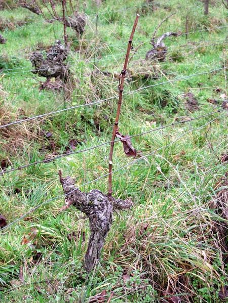 1CRB_bare_vine_after_pruning