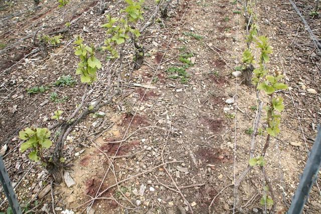 1herbicide_vineyard15