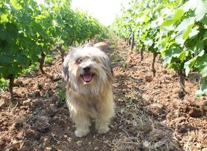 1francois_chidaine_dog_between_rows