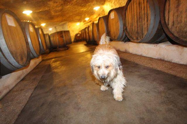 1francois_chidaine_husseau_dog_cellar