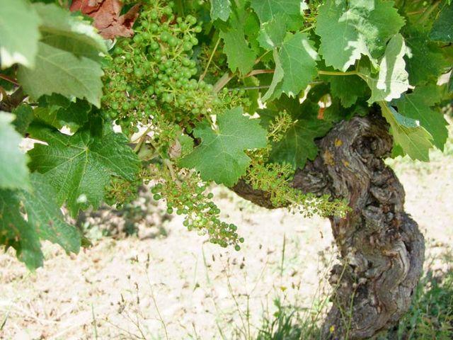 1sebastien_bobinet_cab-franc_grapes_trunk_ruben