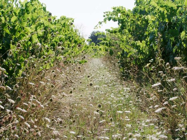 1grange-aux-belles_happy_vineyard