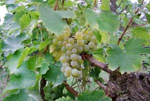 1julien_pineau_sauvignon_on_vine