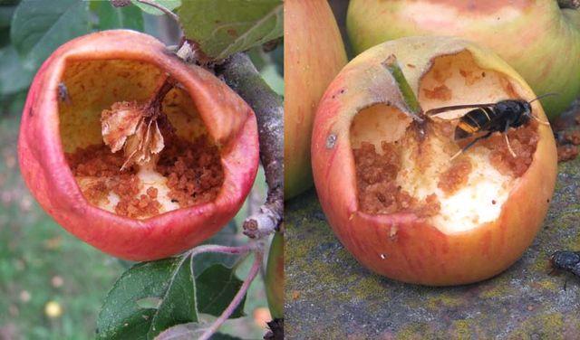 1delicious_apples_wasp