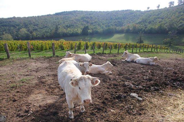1michel_guignier_meat_cows_near_parcel