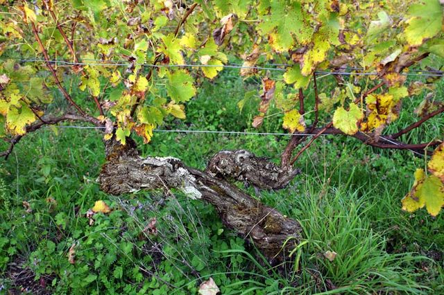 1biodynamics501_another_old_vine