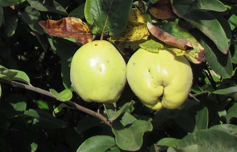 1coings_quince_on_tree