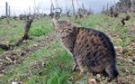 1catherine_rousse_cat_in_vineyard
