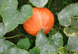 1my_pumpkins