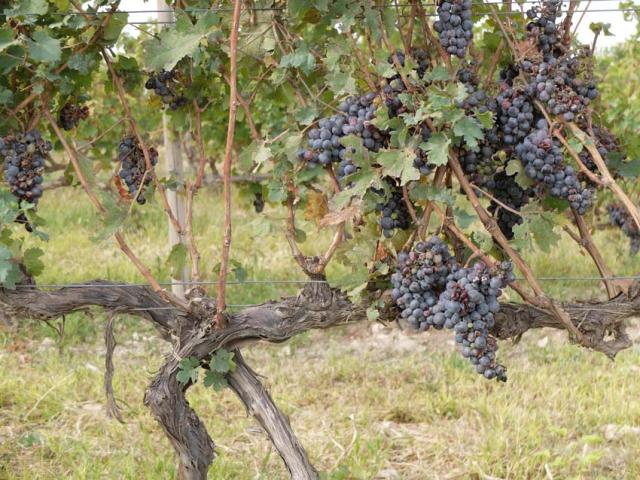 1van_ardi_winery_armenia_areni_variety