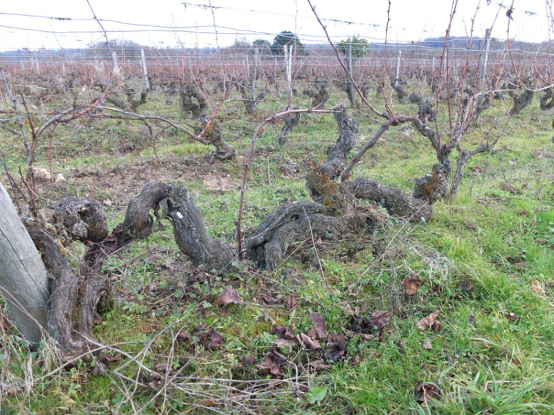 1sylvain_leest_old_convoluted_gamay_vine
