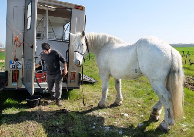 1cedric_bernard_preparing_draft_horse