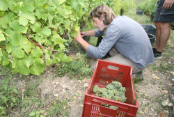 1damien_menut_picking_his_sauvignon