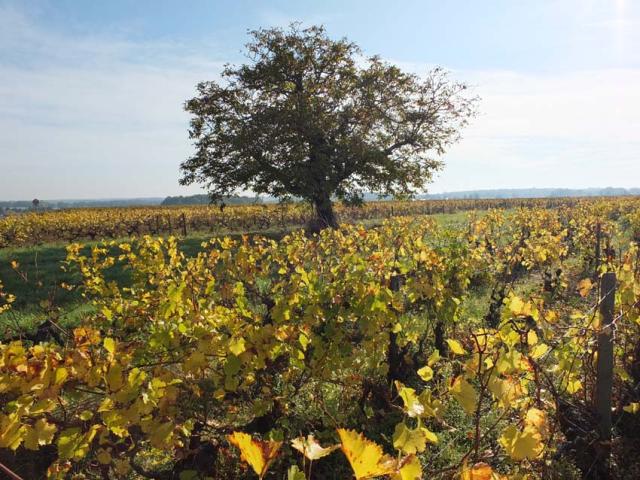 1frantz_saumon_vineyard