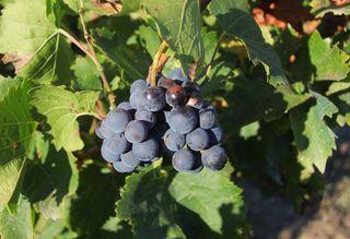 1dettori_tenute_cannonau_grapes