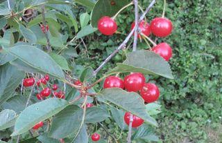 1acidic_griottes_sour_cherries