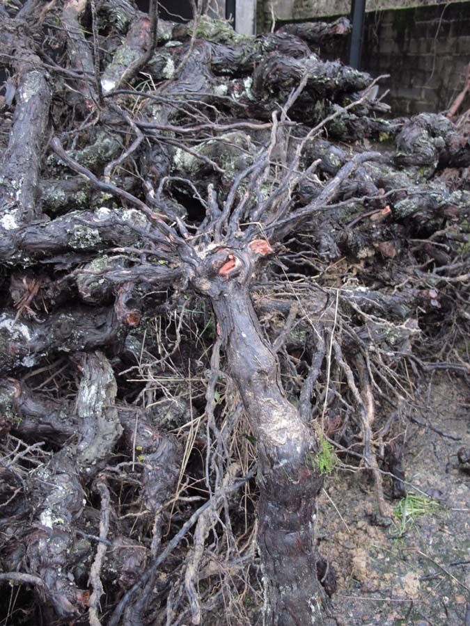 1old-vines_roots_hairy_root